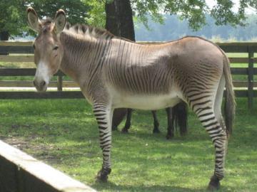 Križanac zebre i magarca