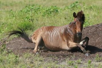 Križanac zebre i konja